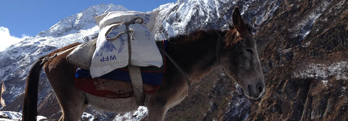 Mule on Manaslu Trek